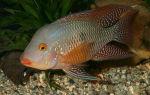 Геофагус бразильский – домашняя аквариумистика