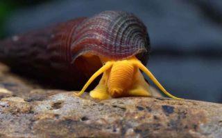Тиломелания содержание улитки оранжевый кролик – домашняя аквариумистика