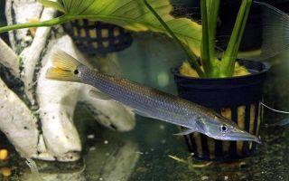 Мечерот, мечеротная щука или павлиний глаз – домашняя аквариумистика