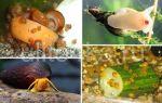 Что едят улитки в аквариуме и чем запрещено их кормить? – домашняя аквариумистика