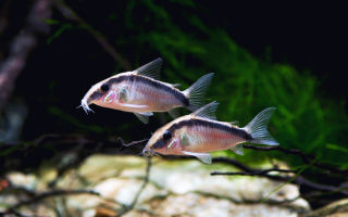Коридорас аркуатус: содержание, совместимость, фото обзор – домашняя аквариумистика