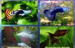 Список-каталог аквариумных рыбок: по алфавиту, с фото и ссылкой на описание – домашняя аквариумистика