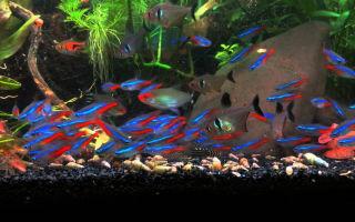 Неон золотой рыбка: содержание, совместимость, фото обзор – домашняя аквариумистика
