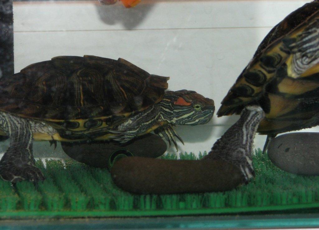 Верный способ определить пол красноухой черепахи
